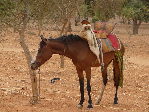 Dogon horse with saddle & bridle